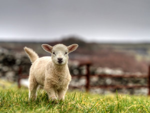 Young lamb on the farm